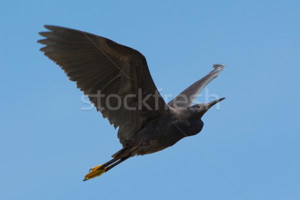 Black Egret (Egretta ardesiaca) in flight Stock photo © davemontreuil