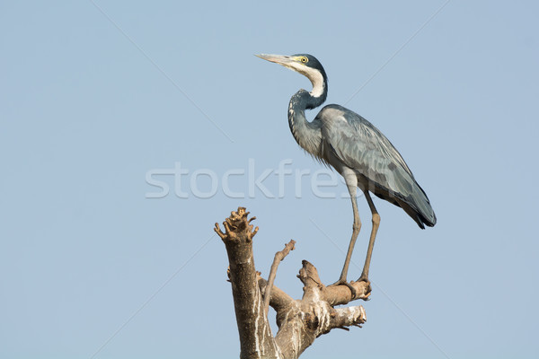 Black-headed Heron perched on a branch Stock photo © davemontreuil