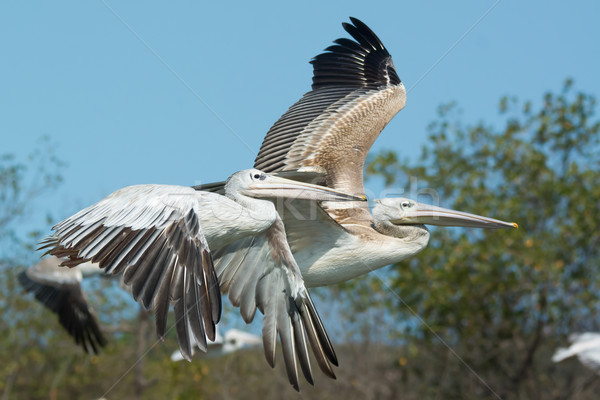 Two Pink-backed Pelican (Pelecanus rufescens) in flight Stock photo © davemontreuil