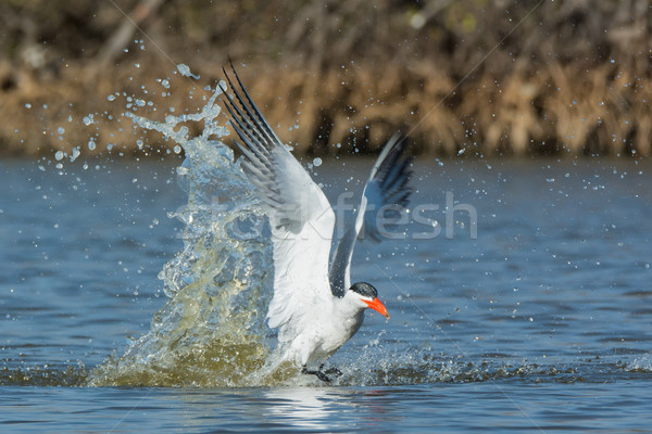 Caspian Tern taking to the air after a dive Stock photo © davemontreuil