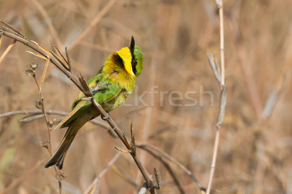 Little Bee-Eater with its head turned up Stock photo © davemontreuil