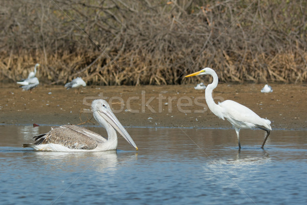 Pinked-Back Pelican meets Great White Egret Stock photo © davemontreuil