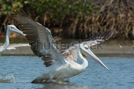 Grev balık su kuş Afrika Stok fotoğraf © davemontreuil