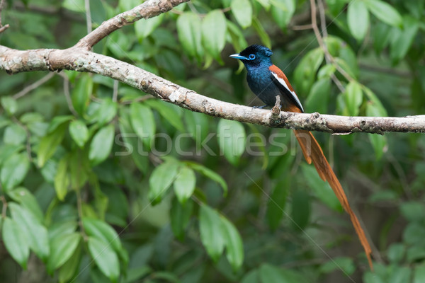 A male African Paradise Flycatcher (Terpsiphone viridis) perched Stock photo © davemontreuil