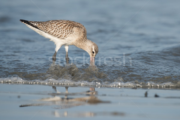 Bar-tailed Godwit (Limosa lapponica) probing below the waves for Stock photo © davemontreuil