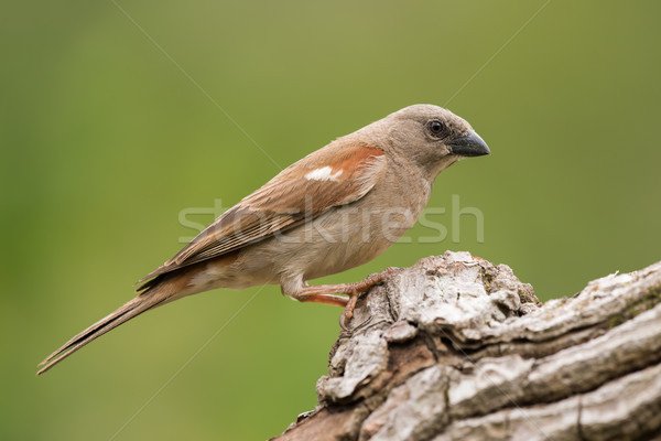 Stock photo: Southern Grey-Headed Sparrow (Passer diffusus) perched on a log