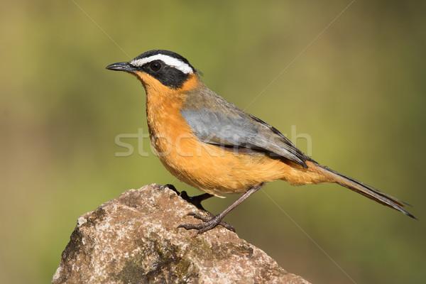Permanent Rock oiseau Afrique animaux profile Photo stock © davemontreuil