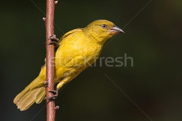 Grande dourado juvenil natureza África jovem Foto stock © davemontreuil