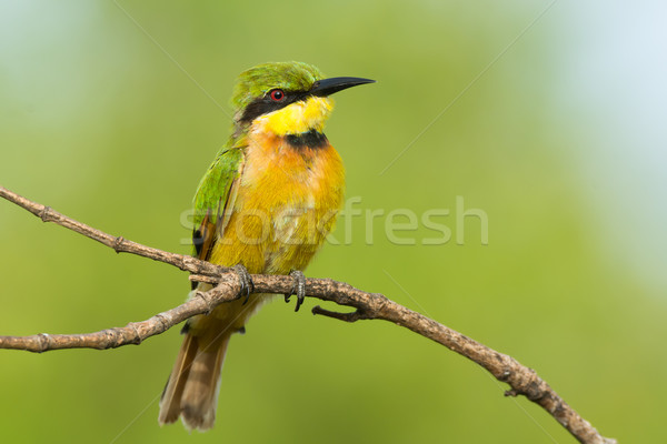 Little Bee-Eater Perching Stock photo © davemontreuil