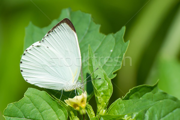 Appias sylvia - Male Woodland Albatross White butterfly Stock photo © davemontreuil