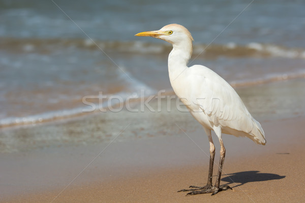 Cattle Egret standing on the beach Stock photo © davemontreuil
