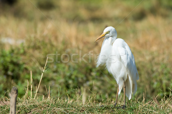 Intermediate Egret with ruffled feathers Stock photo © davemontreuil