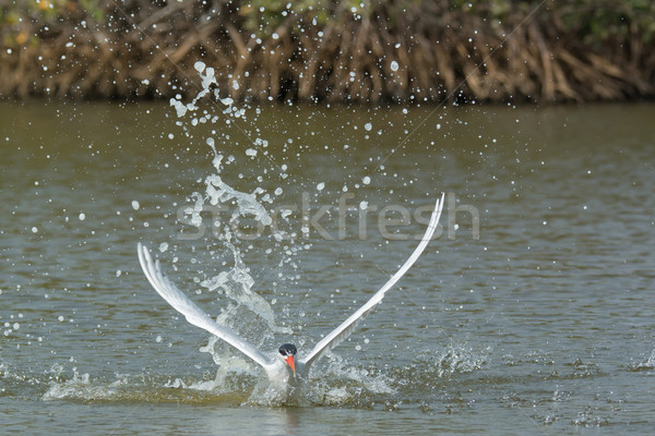 Caspian Tern taking to the air after a dive in the mangroves Stock photo © davemontreuil
