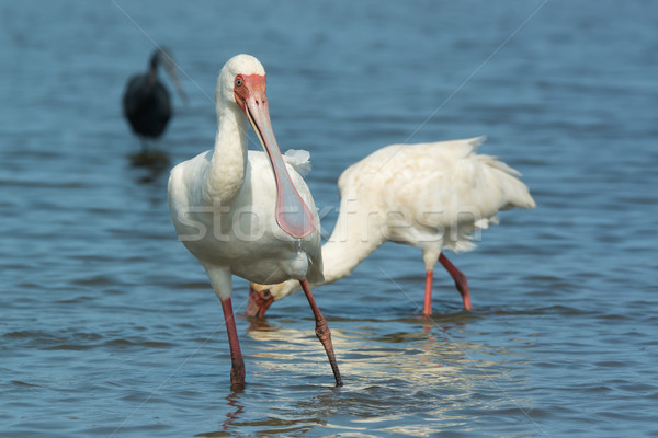 African Spoonbill with water dripping from its bill Stock photo © davemontreuil