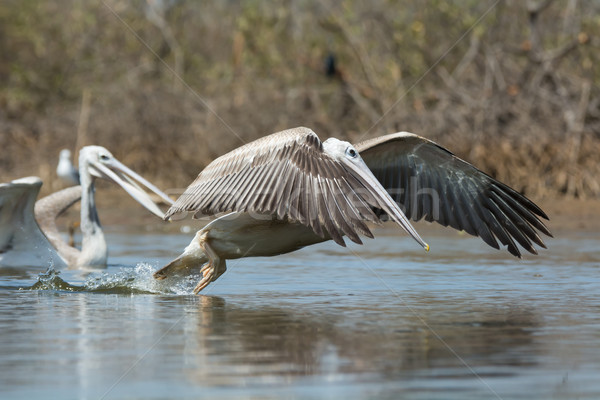 Pink-backed Pelican in the air making a lunge for fish Stock photo © davemontreuil