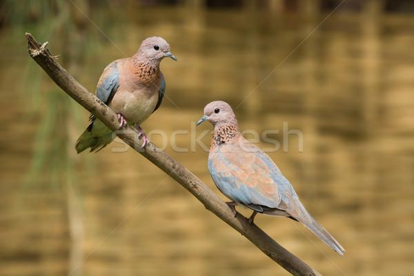Rire colombe couple ensemble branche visage Photo stock © davemontreuil