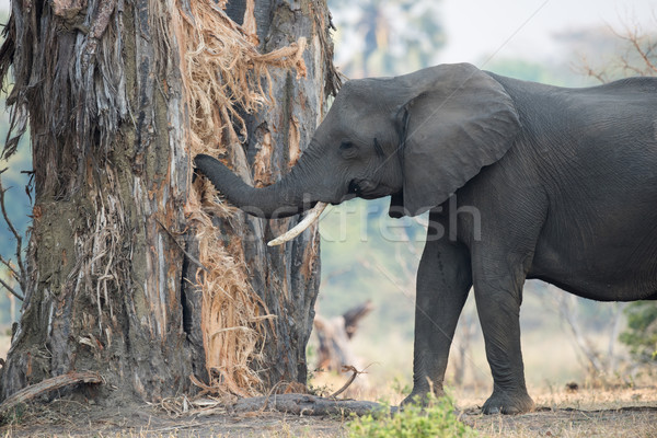 A female African Elephant with one tusk eating (and destroying)  Stock photo © davemontreuil