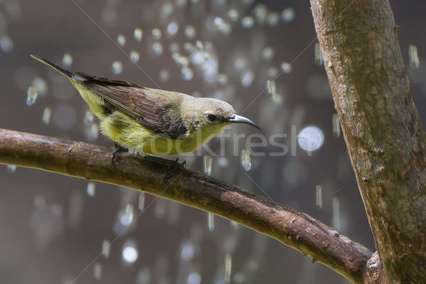 Female Beautiful Sunbird with water droplets Stock photo © davemontreuil