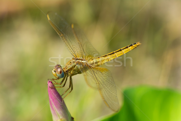 Female Scarlet Dragonfly perched on a flower bud Stock photo © davemontreuil