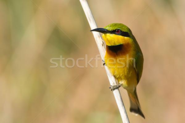 Little Bee-Eater (Merops pusillus) Stock photo © davemontreuil