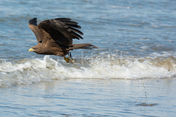 Black Kite (Milvus migrans) scooping up a fish head Stock photo © davemontreuil