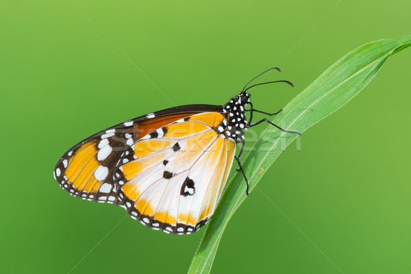 Plain Tiger Butterfly Stock photo © davemontreuil