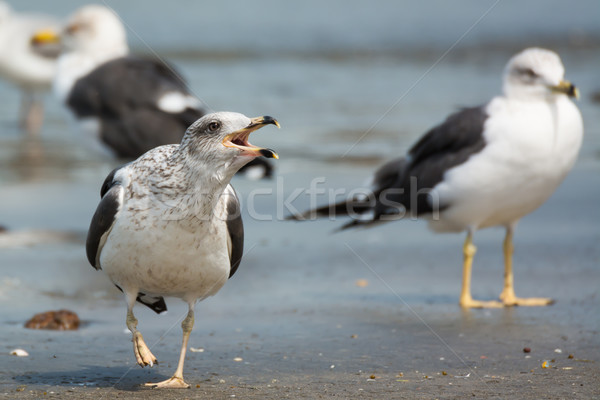 Lesser Black-Backed Gull screeching Stock photo © davemontreuil