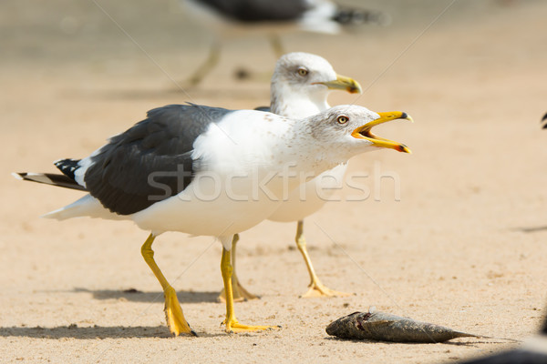 Lesser Black-Backed Gull staking his claim Stock photo © davemontreuil