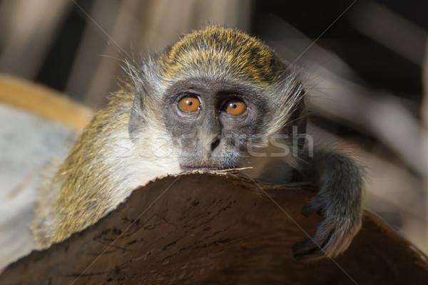 Green Vervet Monkey Stock photo © davemontreuil
