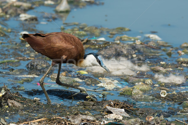 African Jacana hunting on floating refuse and sewage Stock photo © davemontreuil