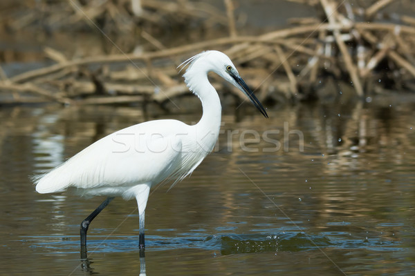A white Western Reef Heron (Egretta gularis) that just missed on Stock photo © davemontreuil