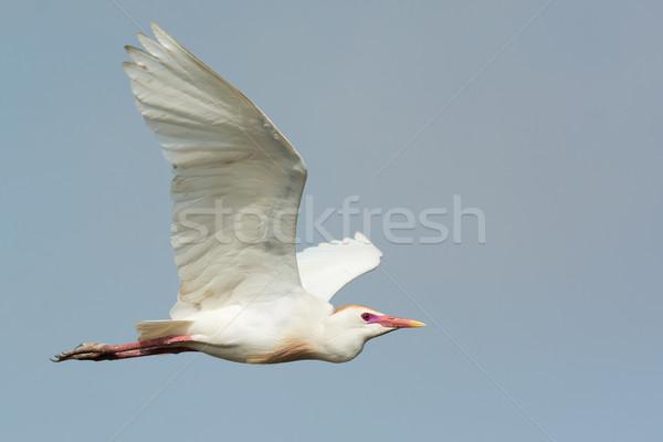 Stockfoto: Vee · teelt · gevederte · vlucht · afrika · kleuren