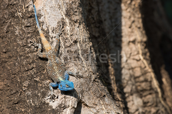 A male Agama Lizard sporting a blue head for mating season Stock photo © davemontreuil