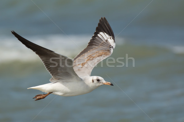 Grey-Headed Gull in flight Stock photo © davemontreuil