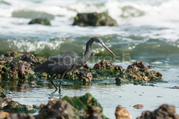 Western kócsag kövek víz óceán kék Stock fotó © davemontreuil