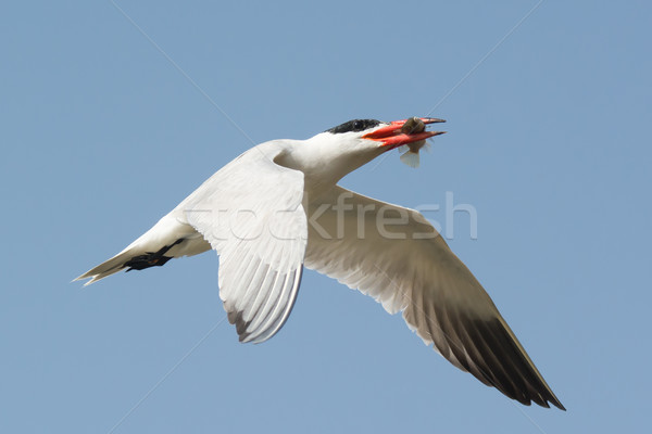 Caspian Tern flying overhead with a fish Stock photo © davemontreuil