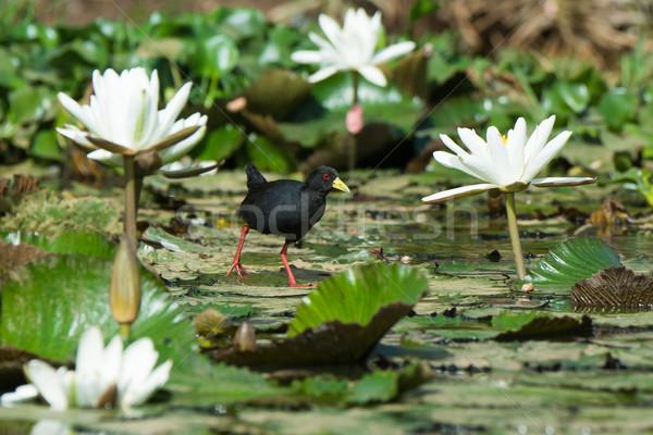 Black Crake walking on lily pads Stock photo © davemontreuil