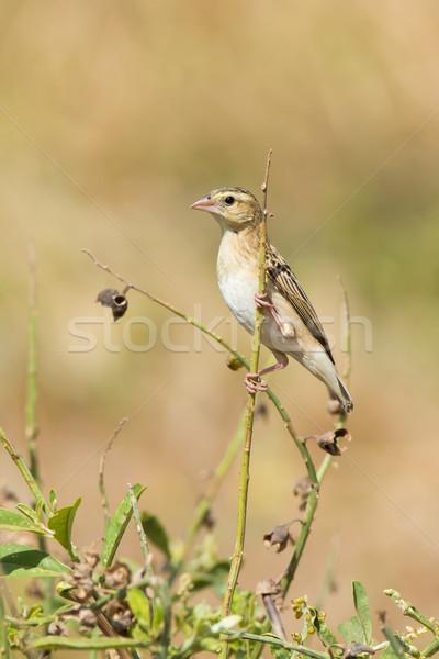 Norte vermelho verde pássaro África Foto stock © davemontreuil