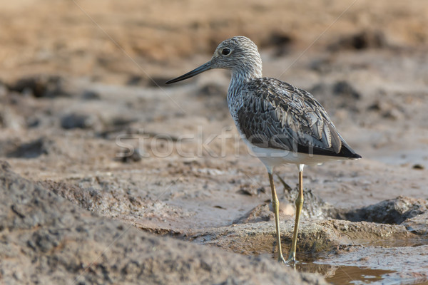 Common Greenshank (Tringa nebularia) on wet mud flats Stock photo © davemontreuil