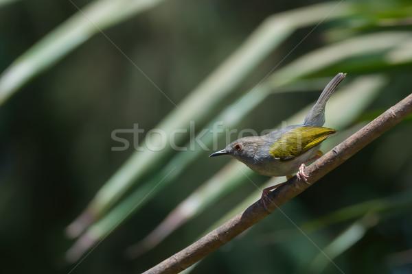 A Grey-backed Camaroptera (Camaroptera brachyura) on a branch Stock photo © davemontreuil