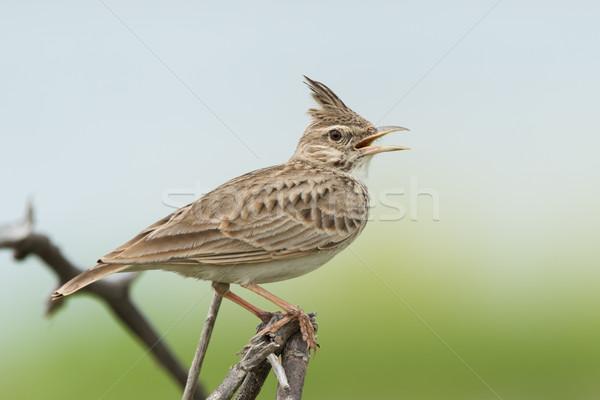 Dal madár Afrika gyönyörű édes szép Stock fotó © davemontreuil