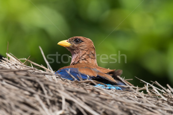 Broad Billed Roller (Eurystomus glaucurus) sunning on a thatched Stock photo © davemontreuil