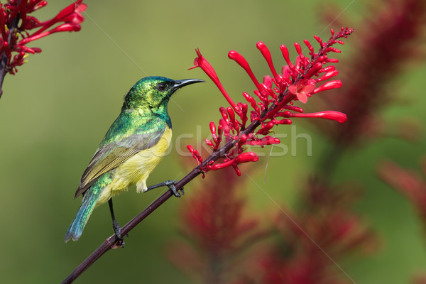 Collared sunbird (Hedydipna collaris) perched on a flower Stock photo © davemontreuil