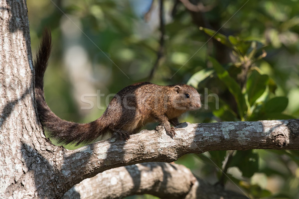 Stock photo: Smith's bush squirrel (Paraxerus cepapi) in an avocado tree
