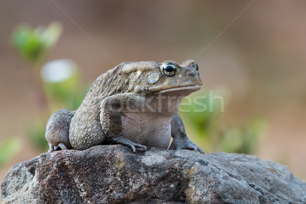 African toad sitting on a rock before dawn Stock photo © davemontreuil