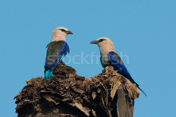 2 Blue-Bellied Rollers Stock photo © davemontreuil