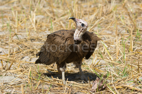 Hooded Vulture (Necrosyrtes manachus)   Stock photo © davemontreuil