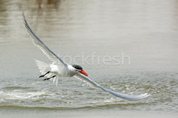 Caspian Tern airborne again after a dive Stock photo © davemontreuil