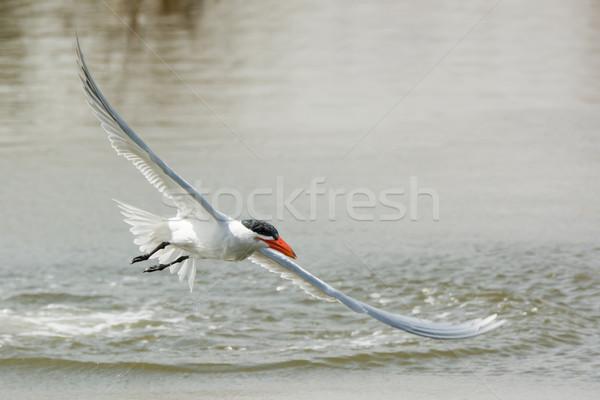 Stockfoto: Duik · vogel · afrika · vleugels · mooie · mooie