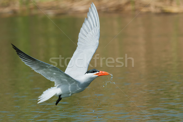 Caspian Tern in flight which has scooped up a mouthful of water  Stock photo © davemontreuil